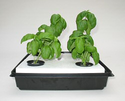 sweet basil grown from seed indoors in early stage of growth