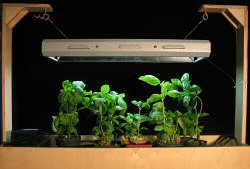 Hydroponic drip system with basil (detail)