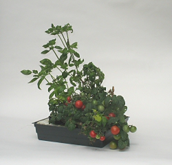 dwarf tomatoes and basil in the Floating Garden