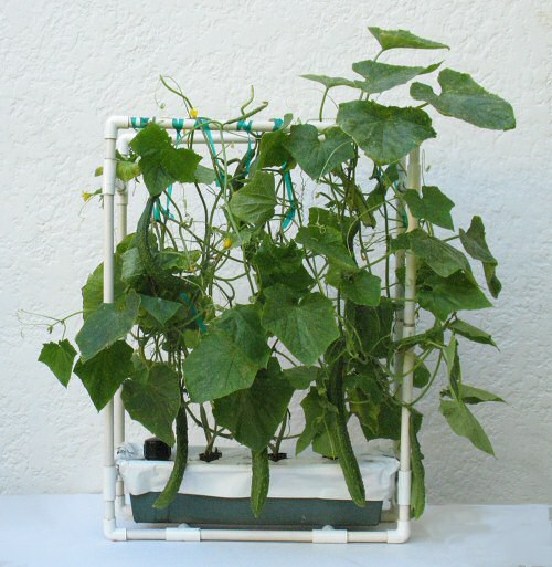 """Natsu-Suzumi"" Japanese cucumbers growing in the Floating Garden Kit Combo with vine support."