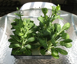 Tatsoi asian green grown hydroponically