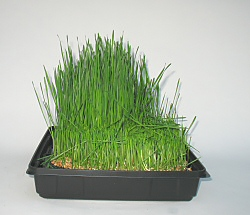 wheatgrass grown under LED lighting during first cutting