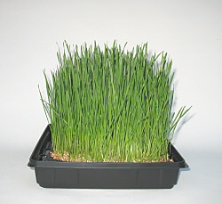 wheatgrass grown under LED lighting ready for first cutting