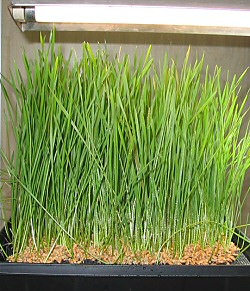 growing wheatgrass under fluorescent light